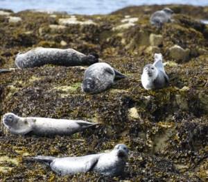 6 seals a sunning