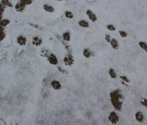 Havanese Footprints in the snow