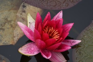 1 pink lily in a castle pond