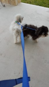 Max and Tanner, a leash for two? No trouble. No matter how much they switched sides, they never were tangled up.