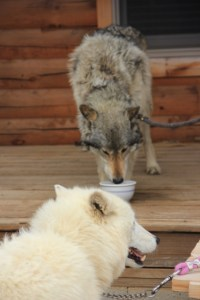 Sabine Arctic Wolf, girlfriend to Zoerro (427x640)