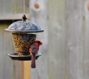 cardinal with seed in beak (640x570)
