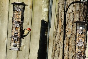 red bellied woodpecker 053 (640x427)