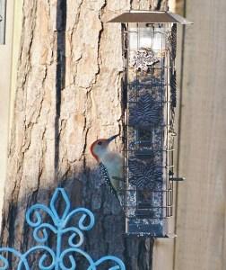 redbellied woodpecker (538x640)