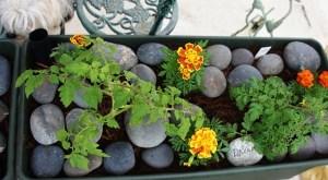 tomatos and new plants 001 (640x353)