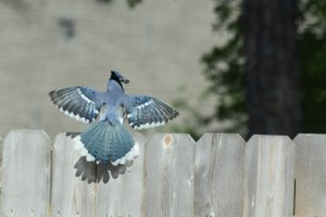 Blue jay in courting, wins spread (640x427) (2)