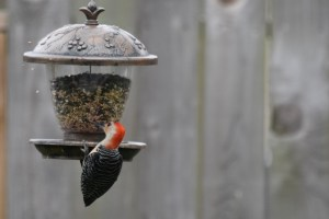 red bellied woodpecker tossing seeds (640x427)
