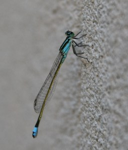 baby blue dasher dragonfly (544x640)
