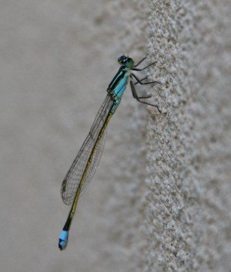 https://i0.wp.com/terryspearbooks.blog/wp-content/uploads/2016/05/baby-blue-dasher-dragonfly-544x640.jpg?resize=335%2C394&ssl=1