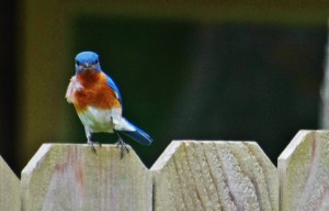 bluebird front