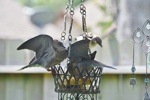 doves saying no to mockingbird (640x427)