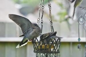 mockingbird fly away (640x427)