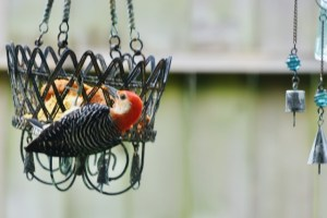 red bellied woodpecker pepper suet (640x427)