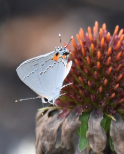 birds, white butterfly 033 (2)