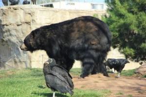 black bear side vultures (640x427)