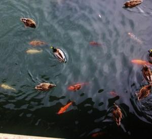 ducks and koi (800x733)