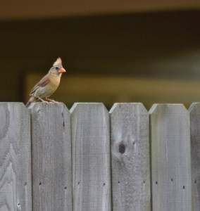 female cardinal (605x640)