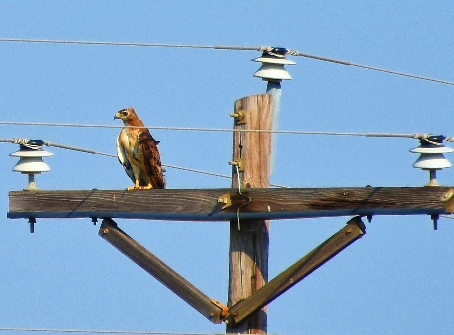 hawk closeup on electric pole