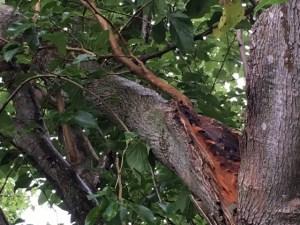 Storm damaged tree limb
