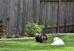 puppies playing 002 (640x441)
