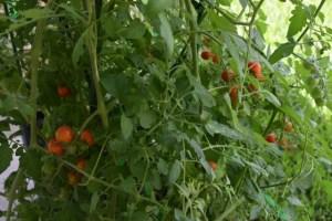 tomatoes (640x427) (2)