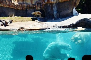 1 underwater big splash polar bear (800x533)