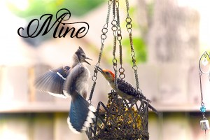 blue jay and mockingbird fighting on feeder Mine enyssia