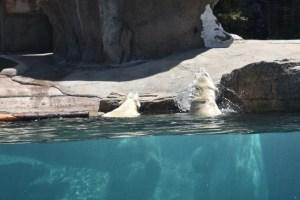 polar bear shaking off water (800x533)
