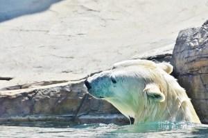 profile to left polar bear (800x533)