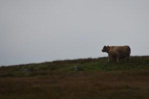 calf having supper (640x426)