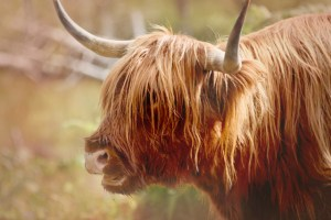 closeup of Highland Cow portrait red autumn adjustments(640x427)