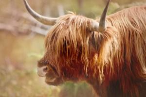 closeup of Highland Cow portrait red autumn adjustments(640x427)