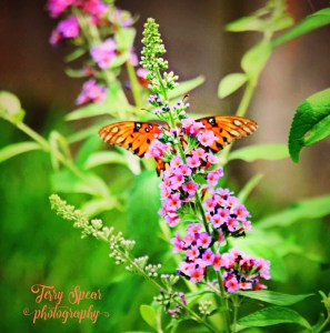 Gulf fritillary butterfly on kaleidoscope wings spread behind flower1 (792x800)