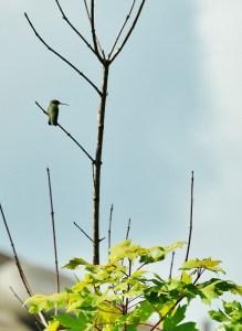 hummingbird in tree 001 (583x800)