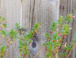 hummingbird on esperanza and recovering firecracker great 010 (800x614)
