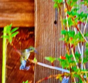 hummingbird on recovering firecracker 011