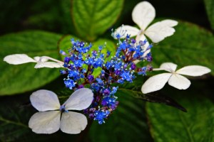 really up close blue and whtie flowers1 (640x427)