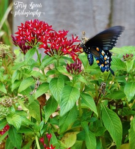 closeup-black-swallowtail-butterfly-217-726x800