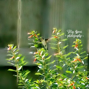 hummingbird, 200 ISO, 4,000, 3.5f 008 text, creamy bokeh 900x900. psd