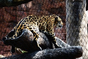 jaguar-comfortable-640x427