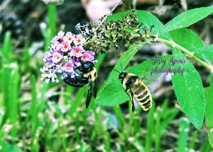 2-bumblebees-900-032