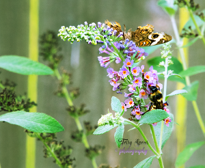 bumblebee-and-california-buckeye-butterfly-cropped-closer-900-001