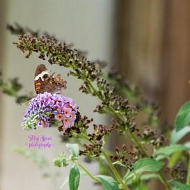 california-buckeye-brown-butterfly-026