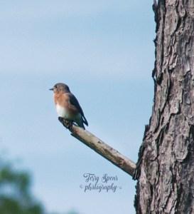 female-bluebird-700