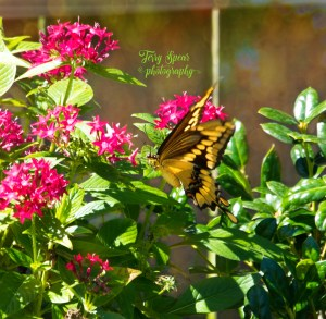 tiger-swallowtail-bokeh-sideview-001