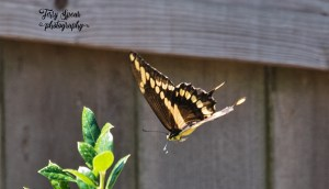 tiger-swallowtail-in-flight-900