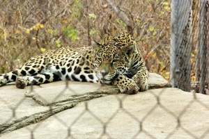 jaguar-fence-800x533