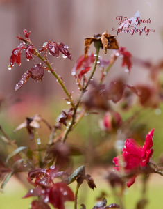 roses-with-wolf-logo-water-drops-900-different-shutter-speeds-f4-1-2500s-001-recovered