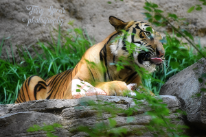 tiger-with-bone-tongue-out-text-600x400