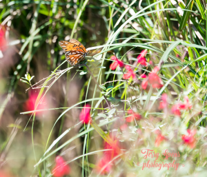 walk-butterflies-red-flowers-900-008